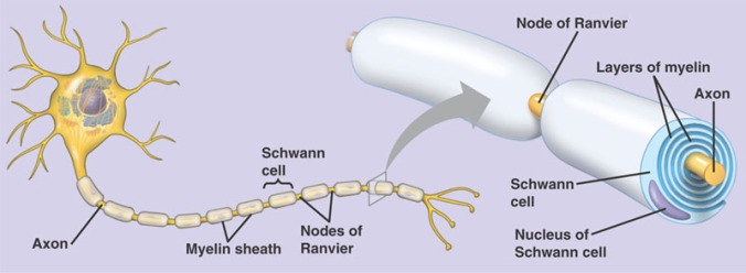 schwann_myelin_cell