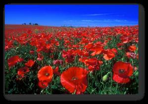 I fiori hanno petali rossi.